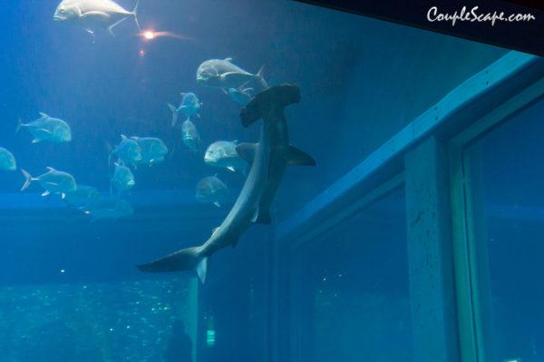 ฉลามหัวฆ้อน