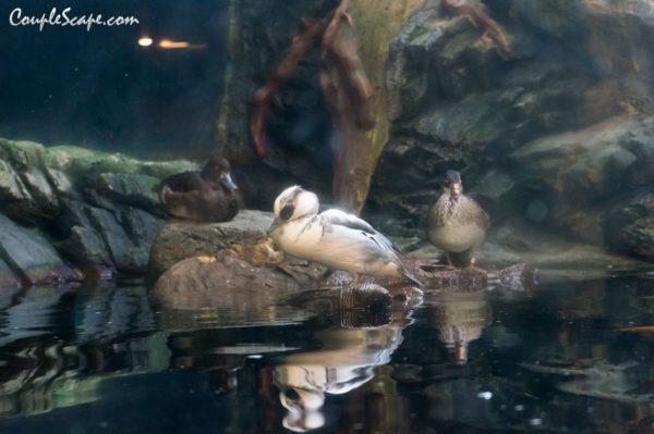 นกเป็ดน้ำ